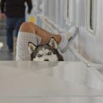 Curious Huski